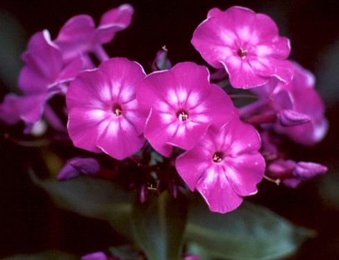 Цветы флокс здесь можно купить цветы